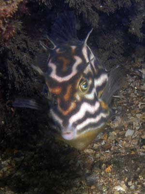 Shaws Cowfish