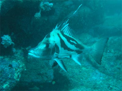 Long-snouted boarfish