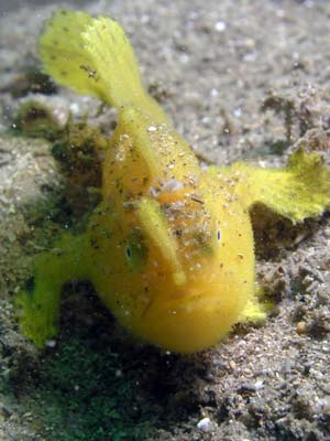 Yellow anglerfish
