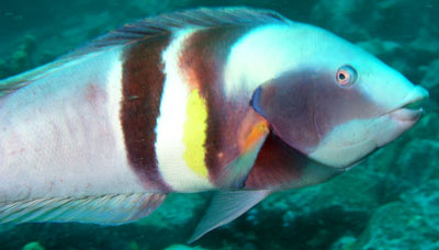 Male Eastern King Wrasse