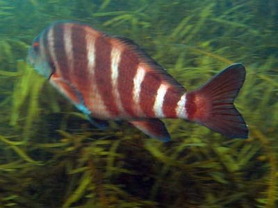 Eddystone Striped Morwong