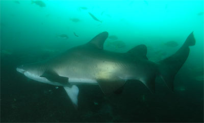 Fishrock grey nurse shark