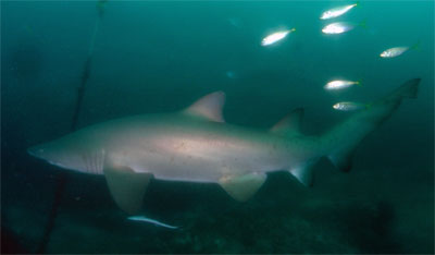Fish Rock grey nurse shark
