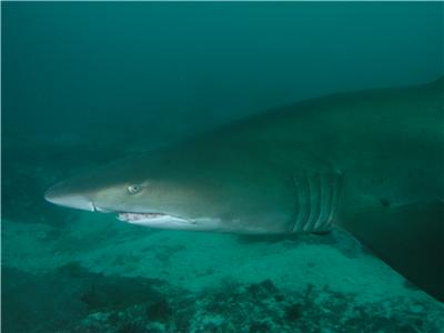 Grey nurse shark at South Solitary Island