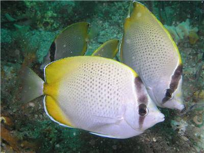 Gunthers Butterflyfish