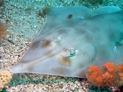 Shovelnosed ray