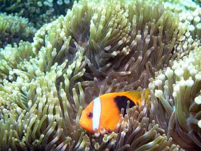 Clownfish at Pauls Rock