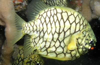 Pineapplefish