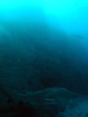 A grey nurse shark at the Pinnacle