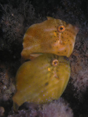 Pygmy leatherjackets