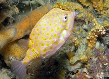 Eastern smooth boxfish