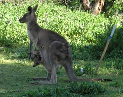 Kangaroo at Warrumbungle NP
