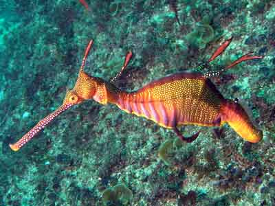 A sea dragon