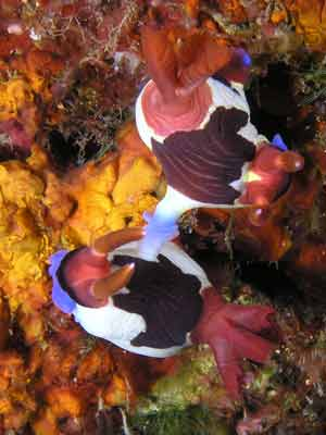 Red gilled nembrotha