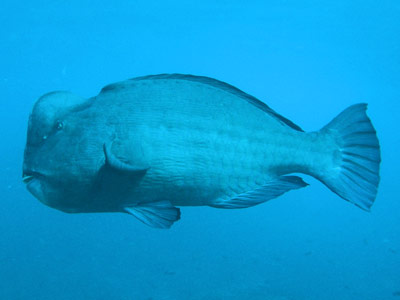 Humpheaded parrotfish